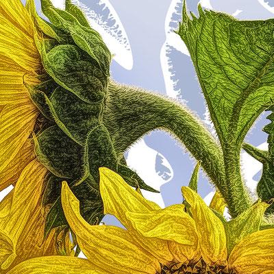 Bildausschnitt: Sonnenblume hellblau
