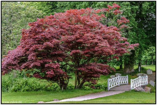 Schlosspark Lütetsburg#Seerosen#Teich#Ostfriesland#Landschaftsgarten