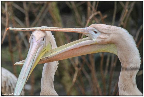 Kannibalismus#Pelikane#Sonderbares