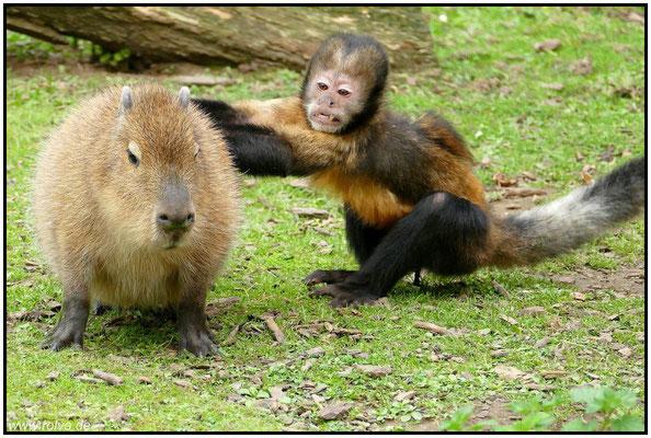 Wasserschwein trifft auf verrückten Affen#Tiermobbing#Sonderbares