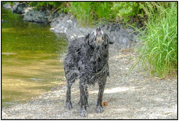 Hundeportrait#Wassertropfen#schütteln