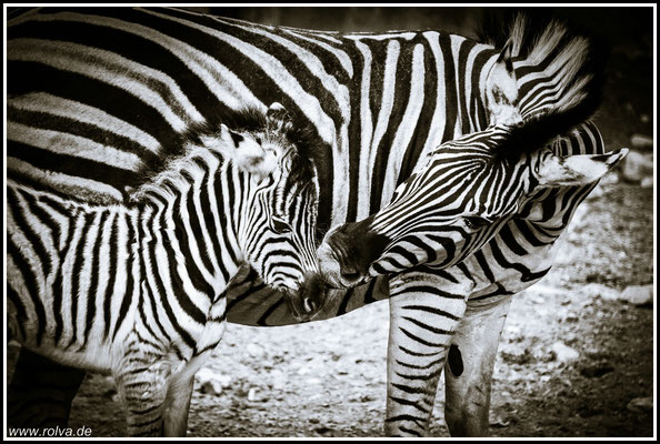 Zebra # Schwarz Weiss
