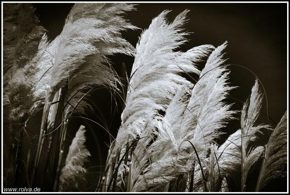 Pampasgras # Schwarz Weiss