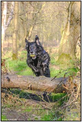 Hundeportrait#springen#Wald