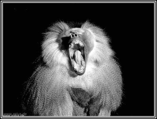 Pavian # Affe # Schwarz Weiss