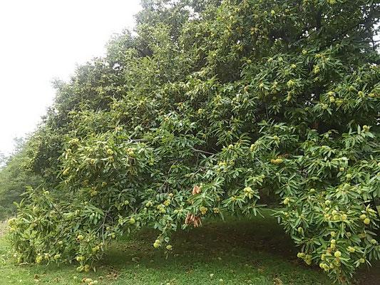 Mantello della chioma di un castagno da frutto