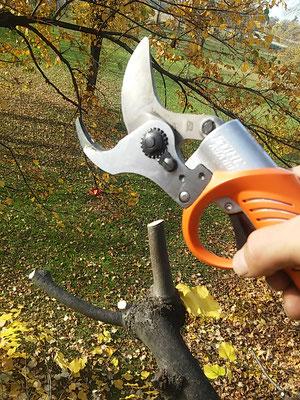 Potatura in forma obbligata su tiglio con forbice a batteria - Marco Montepietra