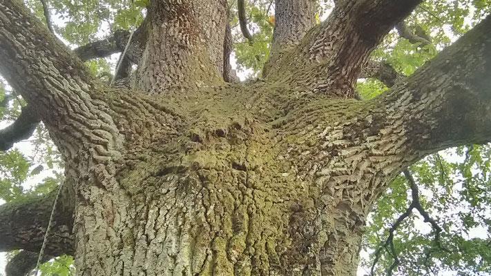 Grande quercia secolare