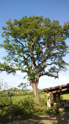 Potatura di riduzione su quercia