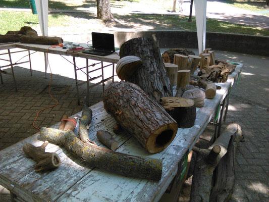 Alcuni campioni legnosi esposti a scopo dimostrativo durante un evento di divulgazione sugli alberi a cura degli Arbonauti
