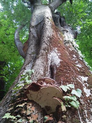 Corpo fruttifero fungino su bagolaro