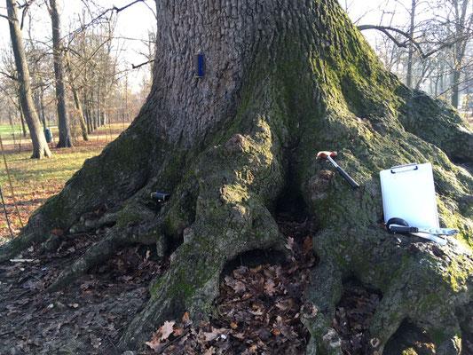 Verifiche strumentali su grande quercia - Parco Ducale, Parma