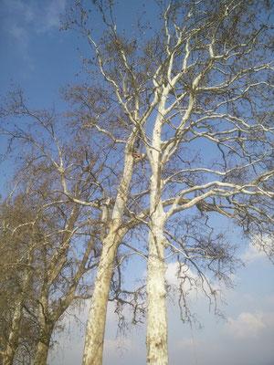 Pausa Pranzo in quota durante potatura di un platano con tecnica tree climbing - Marco Montepietra