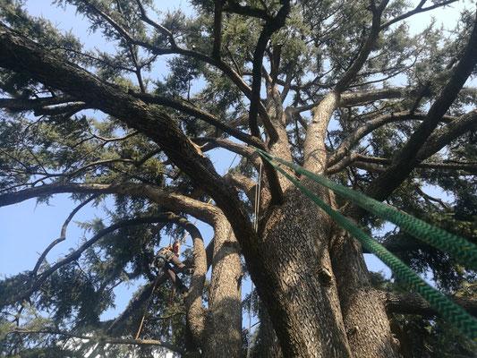 Potatura in tree climbing su grande cedro - Reggio Emilia