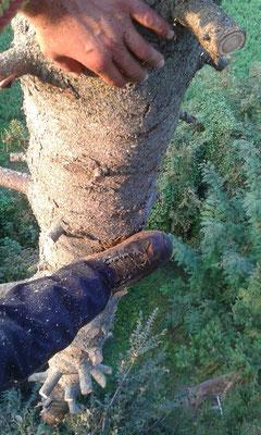 Abbattimento di un abete con tecnica tree climbing - Marco Montepietra