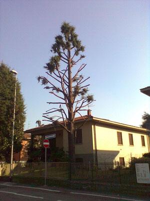 Cedro capitozzato; la chioma non è un optional per l'albero, ma un organo che gli consente di vivere.