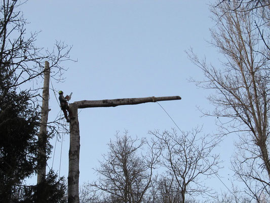Abbattimento di un pioppo con tecnica tree climbing - Marco Montepietra