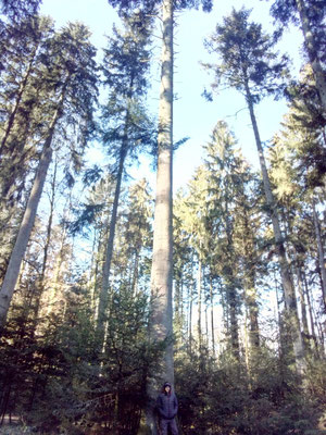 Alti abeti in foresta - Marco Montepietra - Berna, Svizzera