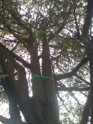 Consolidamento su cedro di due branche codominanti con inserzione debole