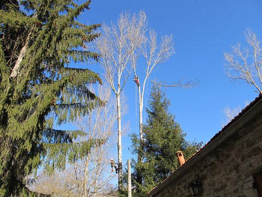 Abbattimento controllato di un pioppo con tecnica tree climbing, in prossimità di linea elettrica e abitazione - Marco Montepietra e Massimo Turci