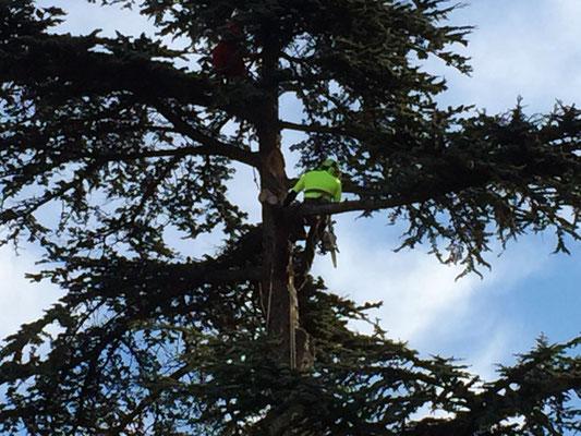 Potatura di un cedro con tecnica tree climbing - Marco Montepietra