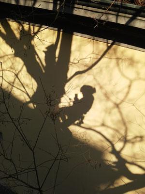 Ombra; autoscatto durante potatura in tree climbing su sofora - Marco Montepietra