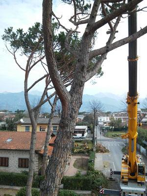 Abbattimento di alcuni pini  in tree climbing con autogru