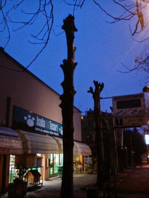 Così ridotti, questi due alberi non hanno più alcun senso, tanto valeva rimuoverli.