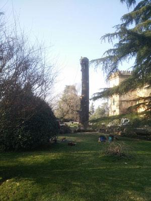 Fasi conclusive dell'abbattimento in tree climbing di un grosso cedro secolare - Marco Montepietra