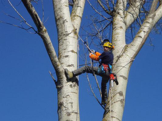 Fase di accesso per l'abbattimento di un  pioppo con tecnica tree climbing - Marco Montepietra