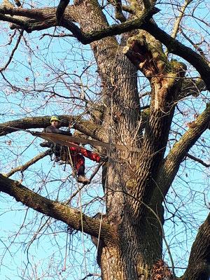 Test di trazione su quercia - Marco Montepietra - Parco Ducale, Parma