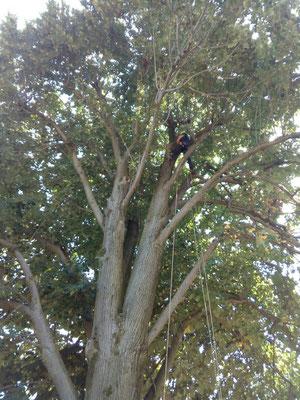 Fase di accesso in quota durante potatura di un tiglio con tecnica tree climbing - Marco Montepietra