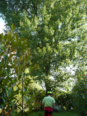 Fase di installazione della corda di risalita in tree climbing per la potatura di un pioppo - Marco Montepietra