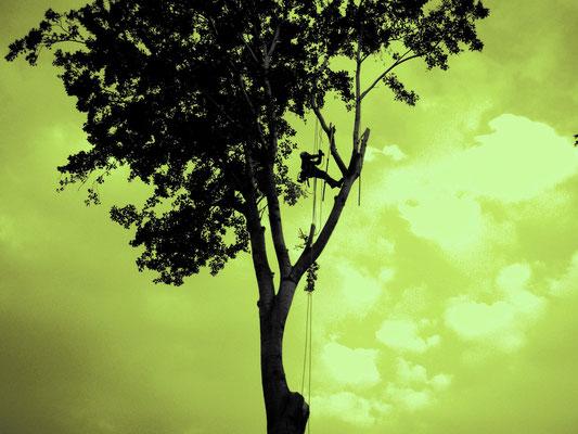 Controluce; abbattimento controllato di pioppo con tecnica tree climbing - Marco Montepietra