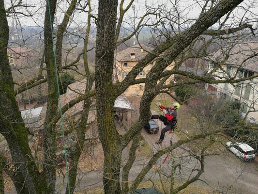 Potatura di querce in tree climbing - Marco Montepietra - Codemondo, Reggio Emilia