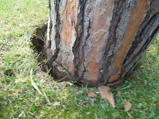 Vistosa inclinazione di un pino pericolante in seguito a cedimento dell'apparato radicale dovuto a forti raffiche di vento