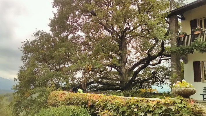 L'elegante chioma di una grande vecchia quercia