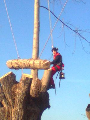 Abbattimento controllato di un pioppo con tecnica tree climbing - Marco Montepietra