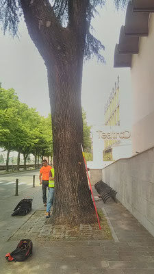 Test di trazione su cedro a Parma