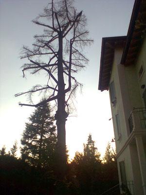 Cedro capitozzato; l'albero è morto in seguito all'intervento.