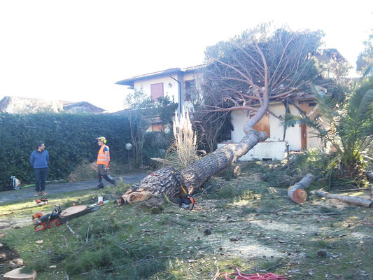 Rimozione di pino crollato su di una abitazione