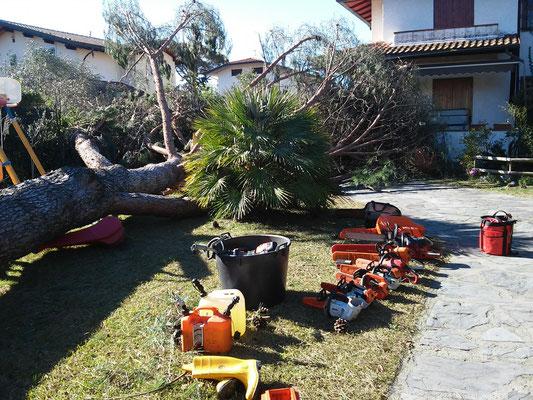 Diverse motoseghe di varia tipologia e dimensione per sezionare un grosso pino crollato a ridosso di una abitazione
