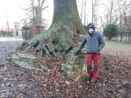 Apparato radicale parzialmente esposto di una quercia radicata su alcune rovine in muratura - Marco Montepietra - Parco Ducale, Parma