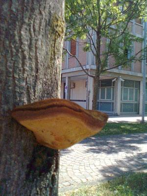 Corpo fruttifero fungino su frassino