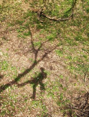 Ombra; potatura di un castagno con tecnica tree climbing - Marco Montepietra