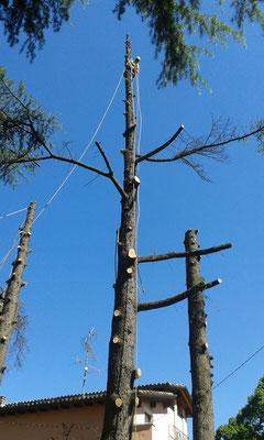 Abbattimento controllato di cedri con tecnica tree climbing - Marco Montepietra