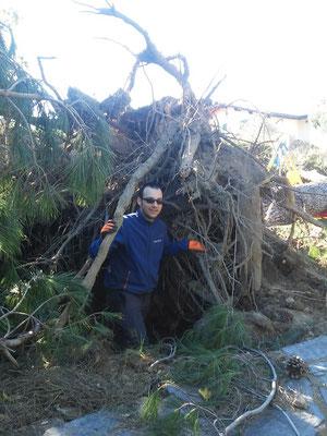 Apparato radicale esposto di un pino, in seguito al ribaltamento