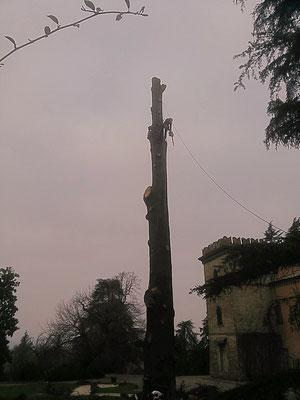 Abbattimento in tree climbing di un grande cedro secolare - Marco Montepietra