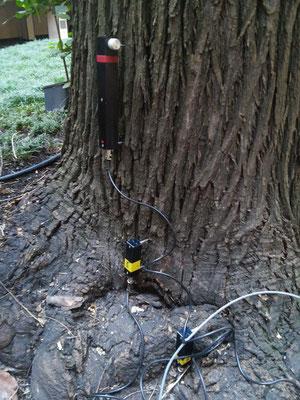 Strumenti di rilievo posizionati sul tronco di una sofora, per un test di trazione