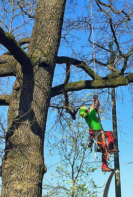 Fase di risalita durante accesso in tree climbing su quercia - Marco Montepietra